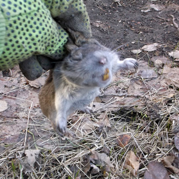 pocket gopher removal